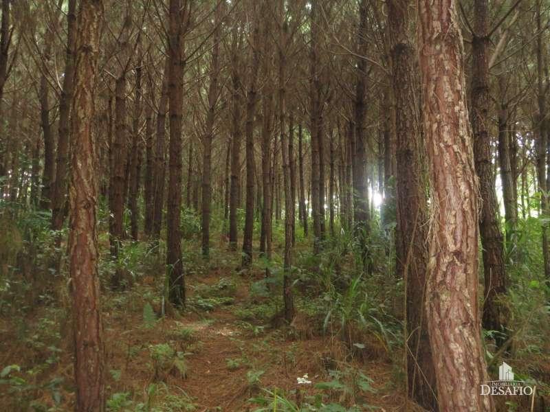 Reflorestamento - Mafra / SC